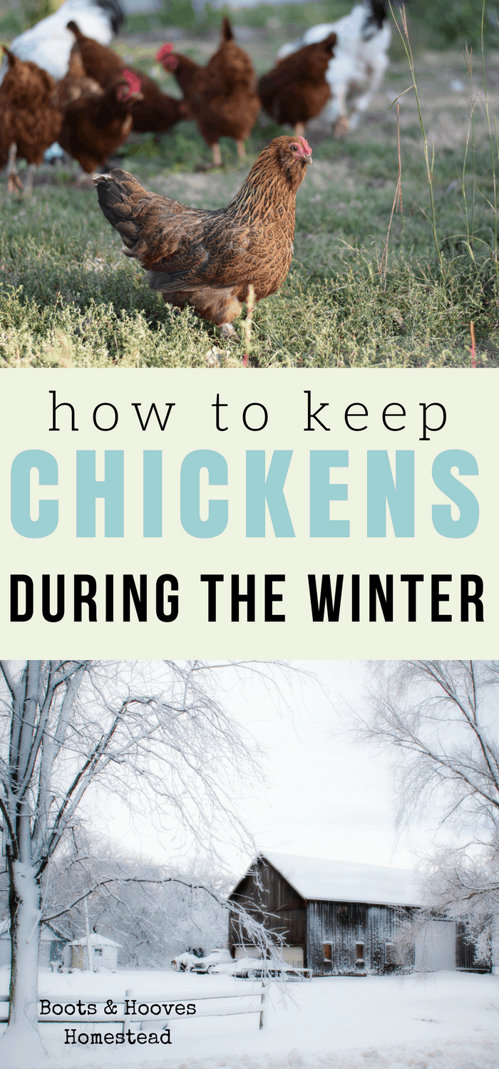 how to keep chickens during the winter. The ultimate winter chicken keeping guide.