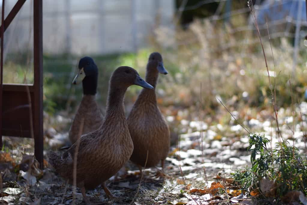 ducks in a fenced in chicken run