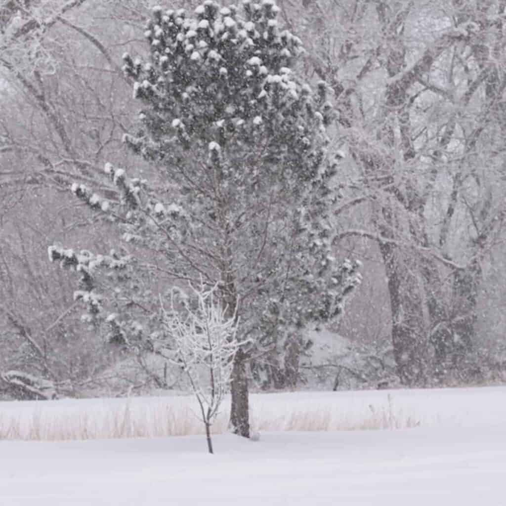 snow covered trees on the farm