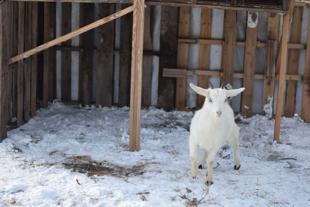 white pygmy goat inside of goat shelter
