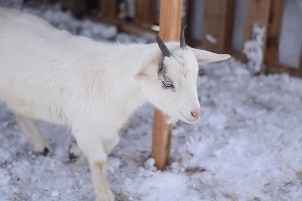 close up image of the white pygmy goat standing in goat shelter with snow on the ground