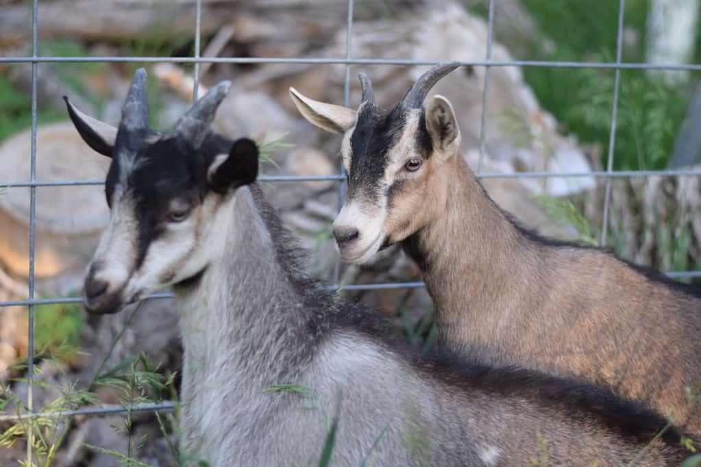 alpine goats, jack & Jill