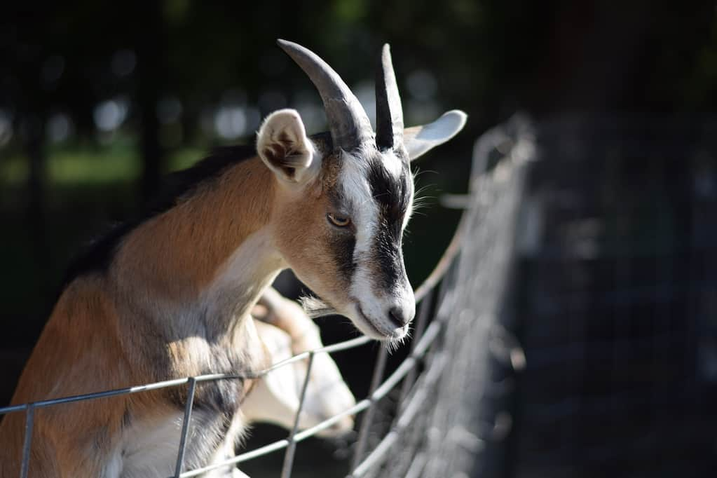 alpine goat climbing a fence