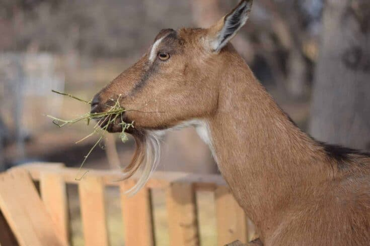 Why You Should Consider Adding Alpine Goats to Your Homestead
