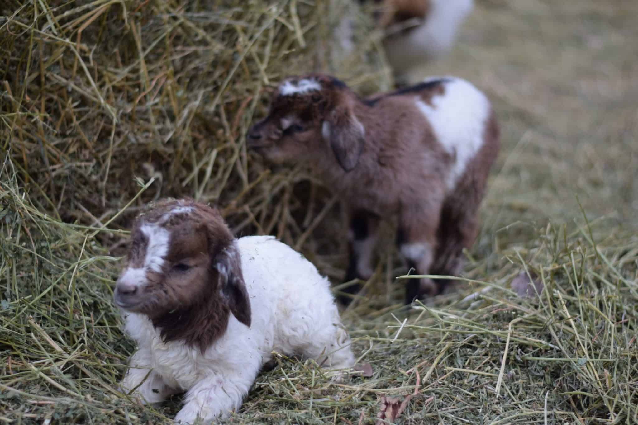 two newborn baby goats laying in a hay pile
