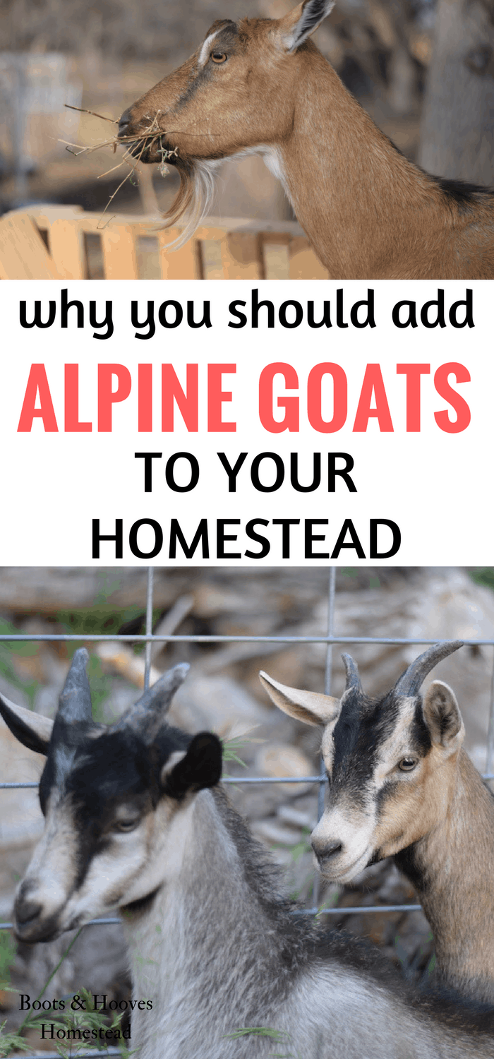 photo collage with two images, with 3 alpine goats