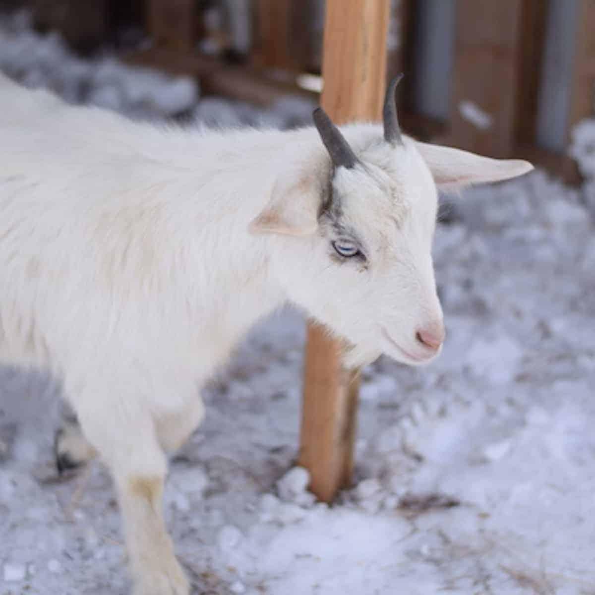 pygmy goat inside diy goat shelter