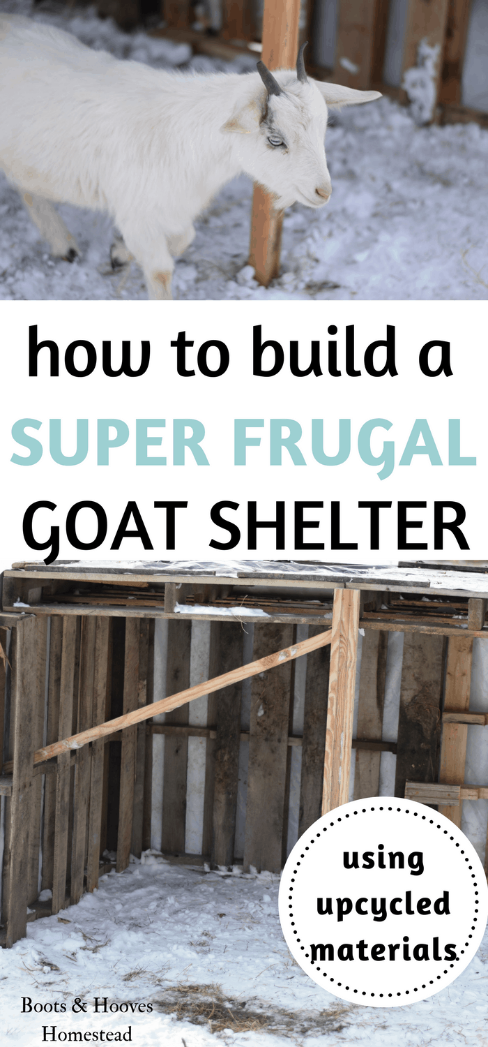photo collage of a pygmy goat and newly built goat shelter