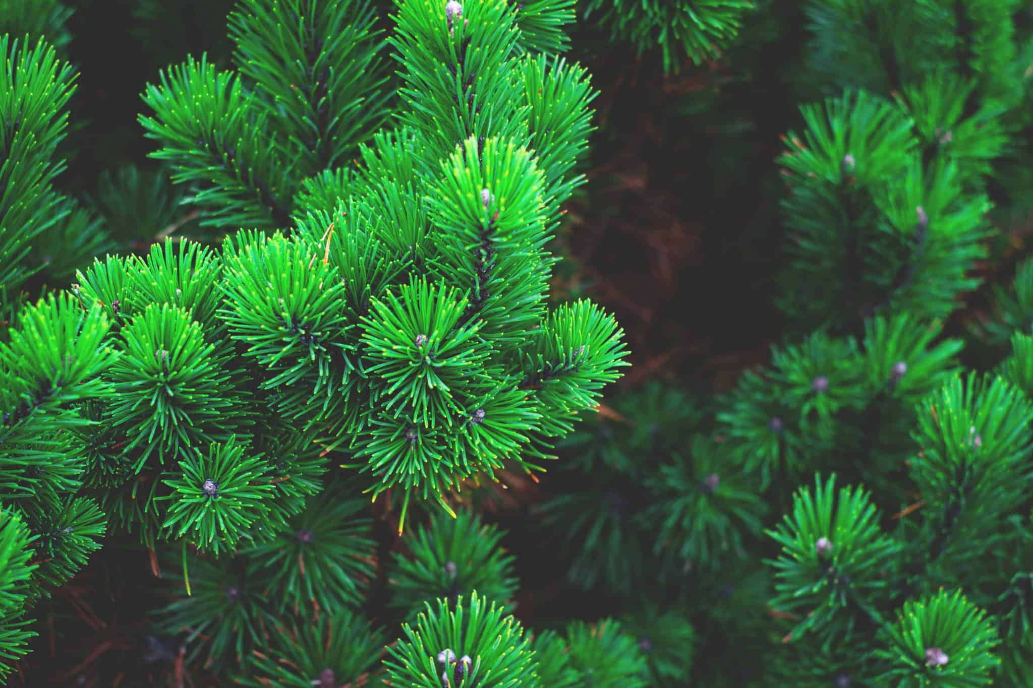 evergreens close up picture