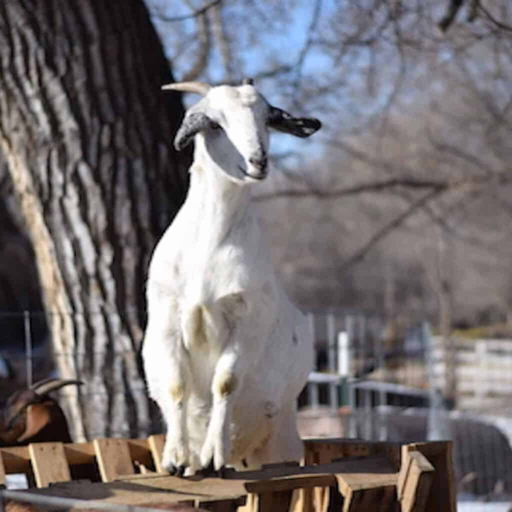 goat standing on top of diy goat feeder