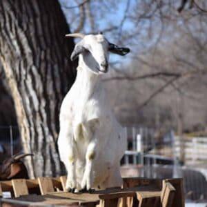 goat standing on top of diy goat feeder