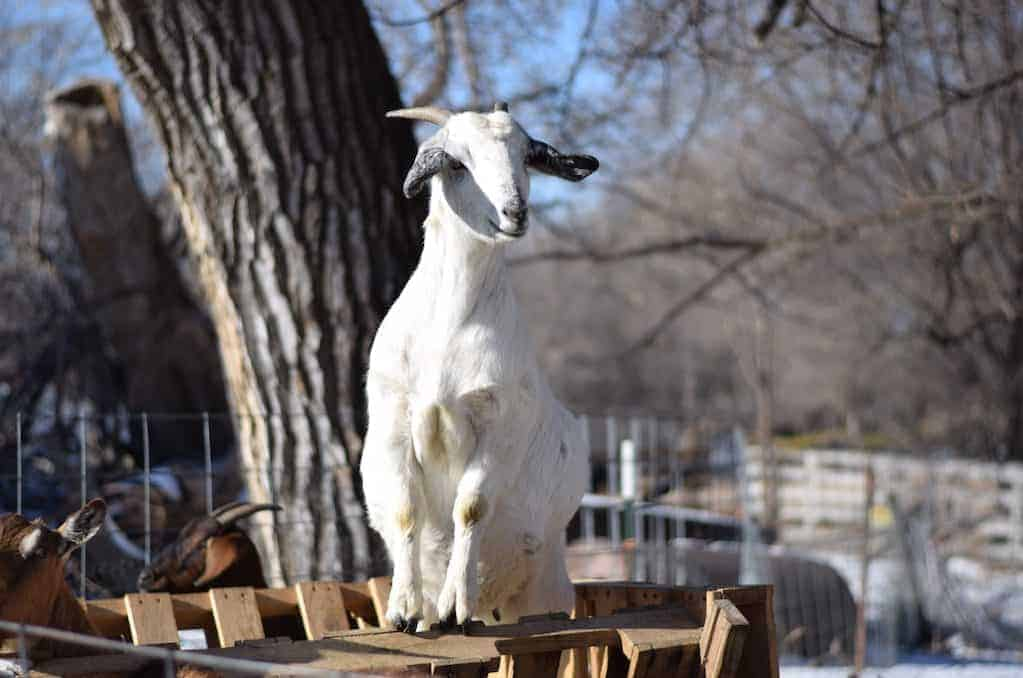 how to build a simple and frugal goat feeder