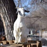 How to Build a Simple Goat Feeder
