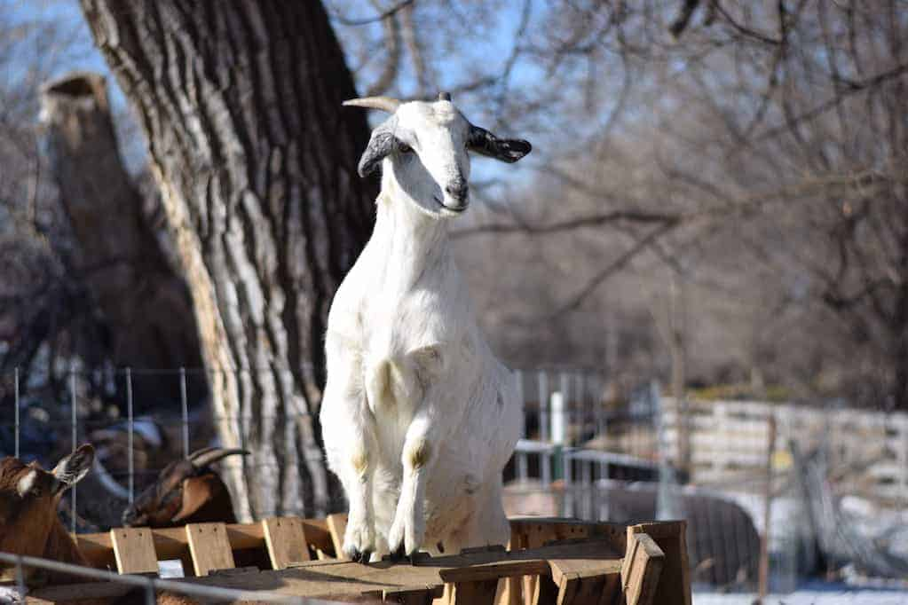 white boer goat standing inside of the goat feeder