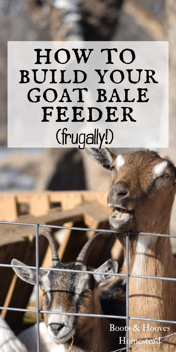 goats standing in pen