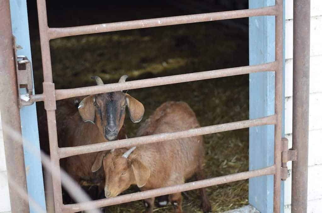 New goat shelter.