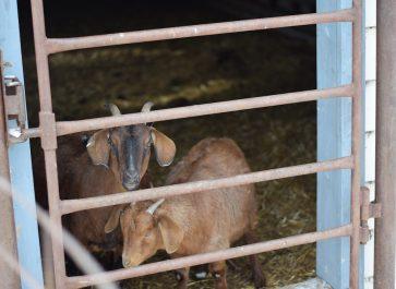 New goat shelter.