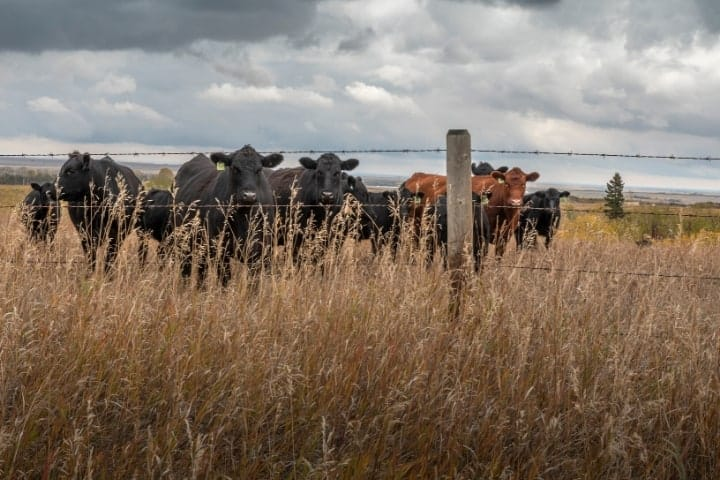cattle at fence post