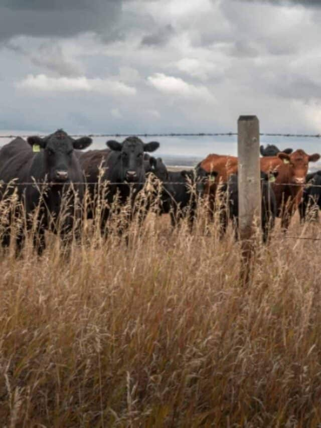 group of cattle grazing in pasture
