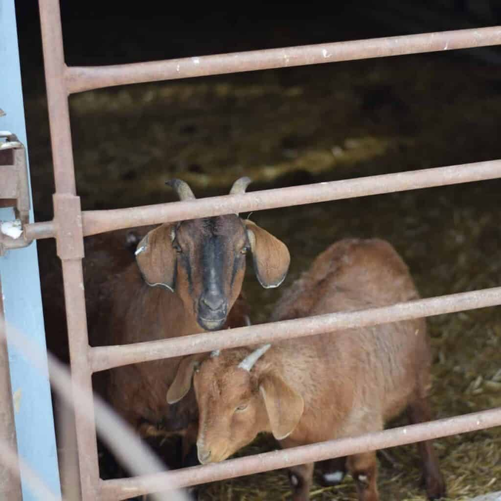 goats inside of new pen