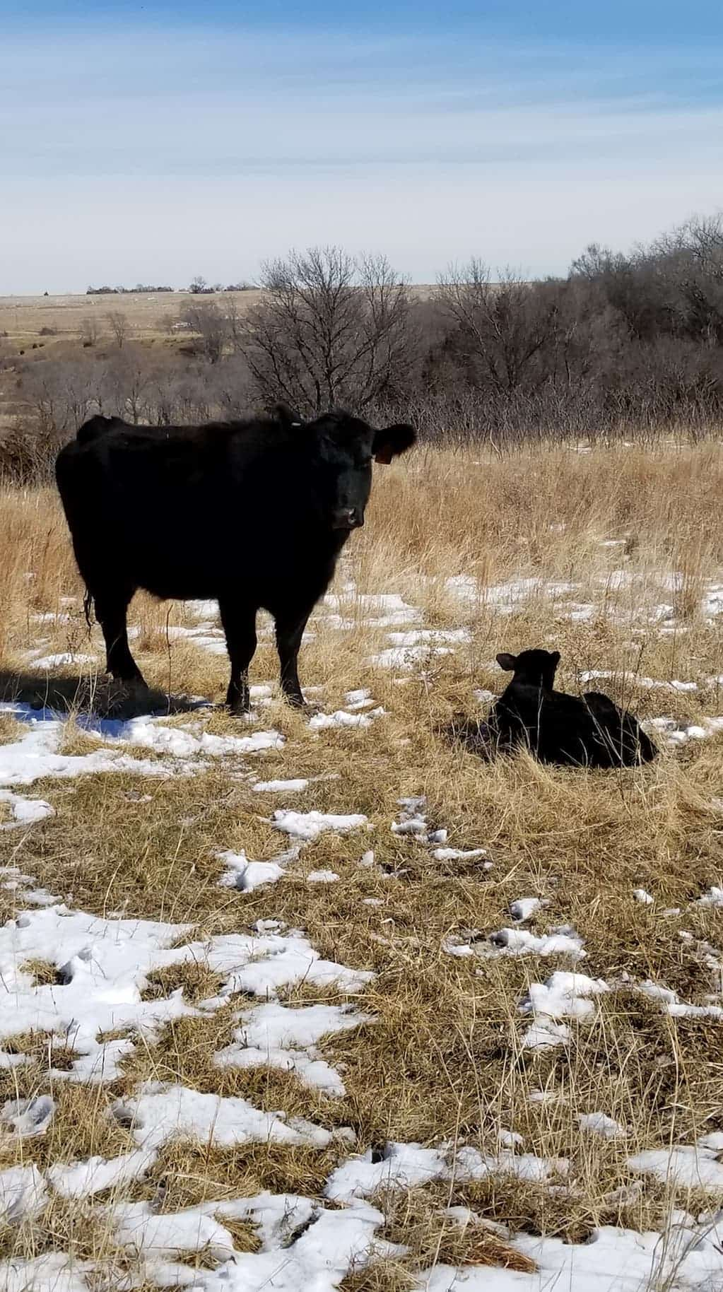 mama cow and new baby calf in pasture