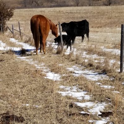 Cow Calving Stages – What to Expect When Your Cows Expecting