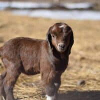 5 Best Breeds of Goats to Keep as Pets