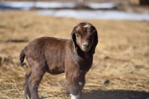 Boer goat baby standing in goat pen outside