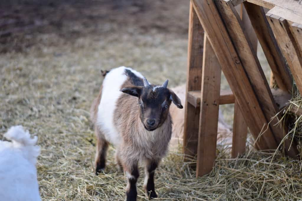 small pygmy goat standing next to a feeder