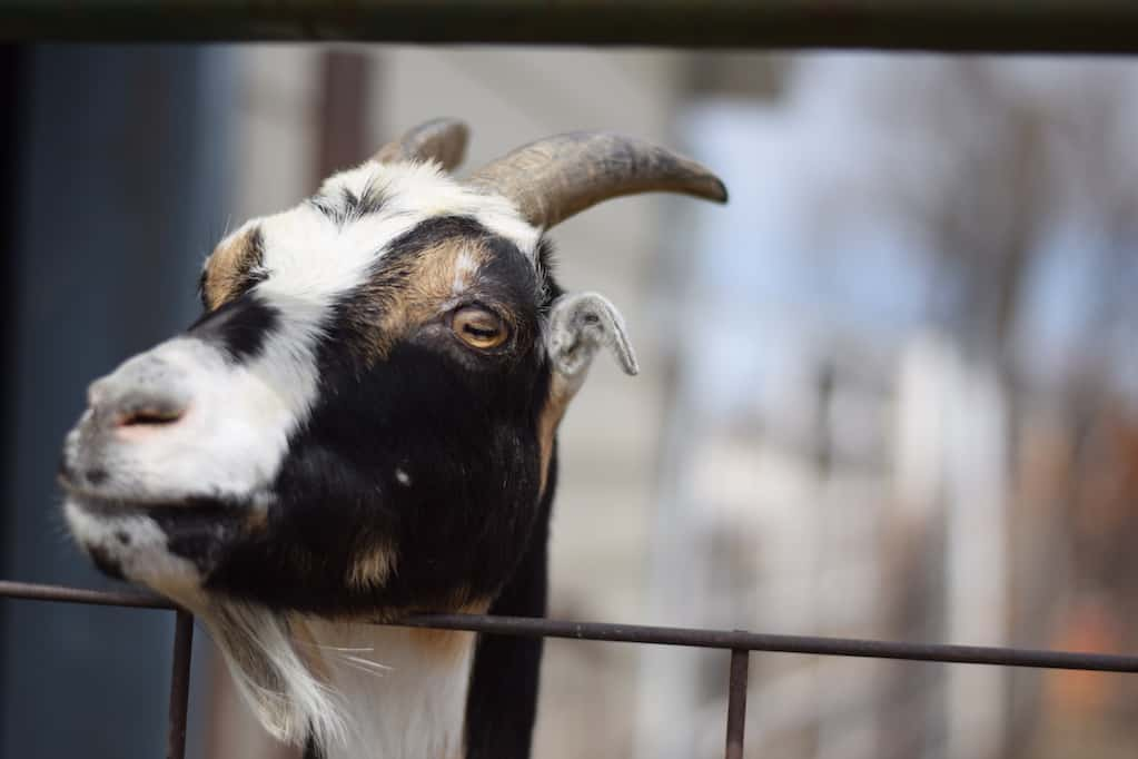 LaMancha goat looking over fence