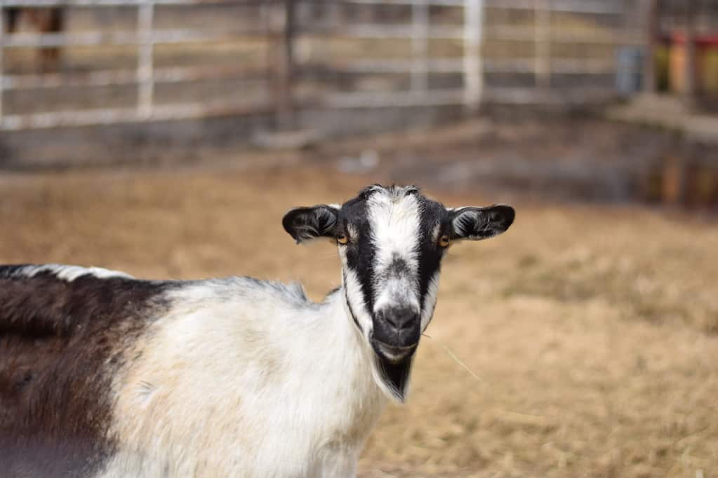 Alpine goat in the outdoor goat pen