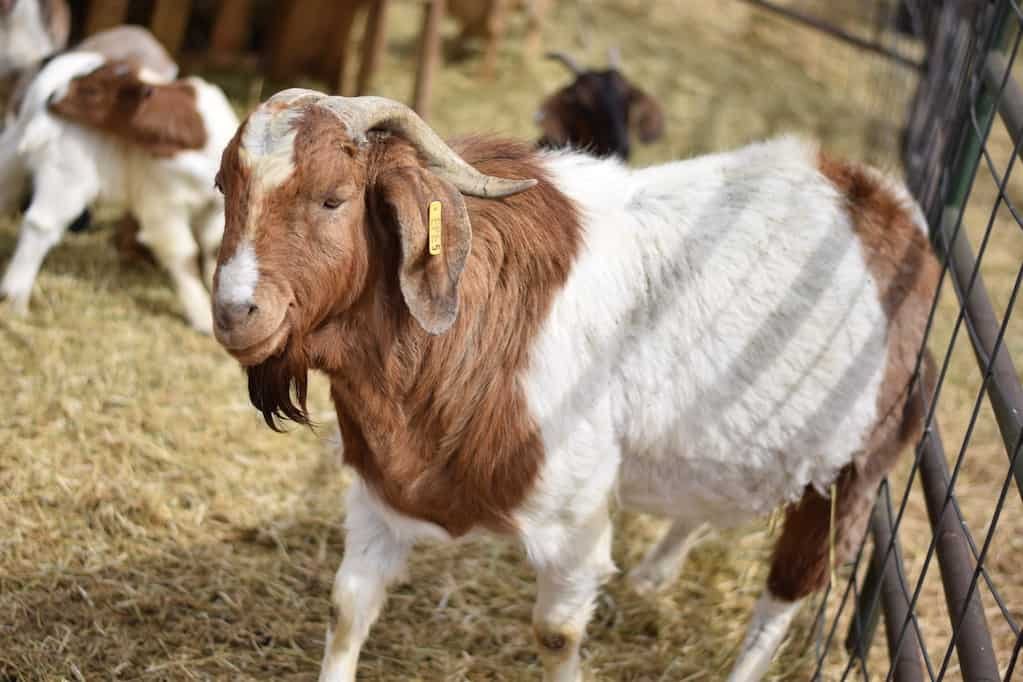 Boer buck goat breed standing next to a fence
