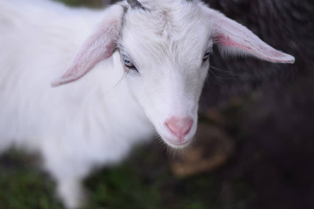 white pygmy goat baby close up