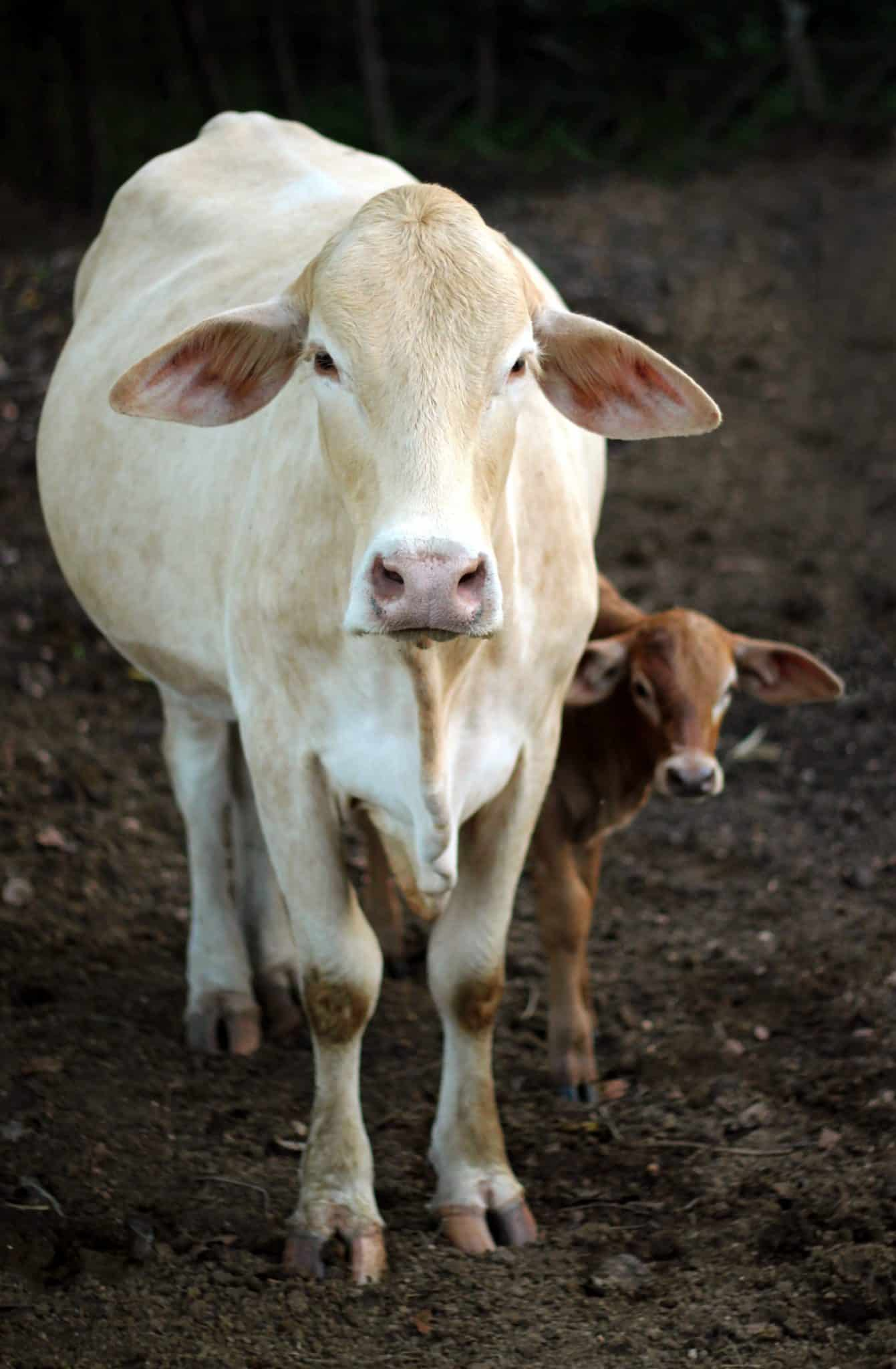 newly born baby calf with mom cow