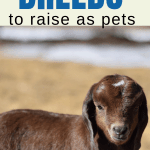 up close image of a baby Boer goat breed to keep as pets