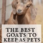 baby goat standing in pen