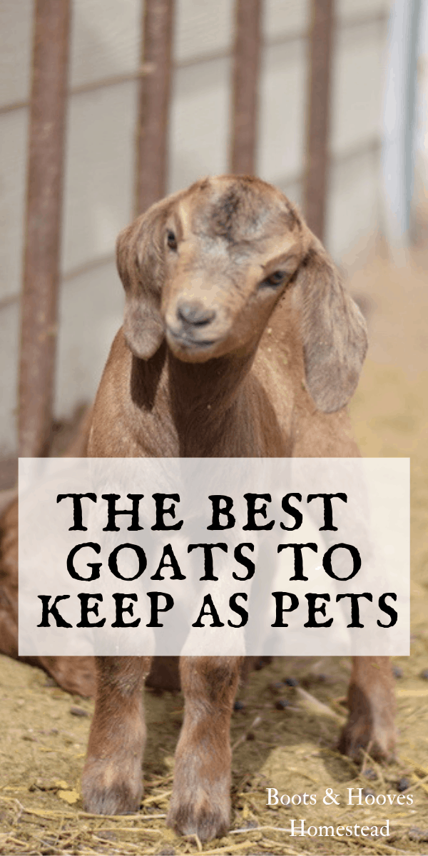 5 Best Breeds of Goats to Keep as Pets - Boots & Hooves