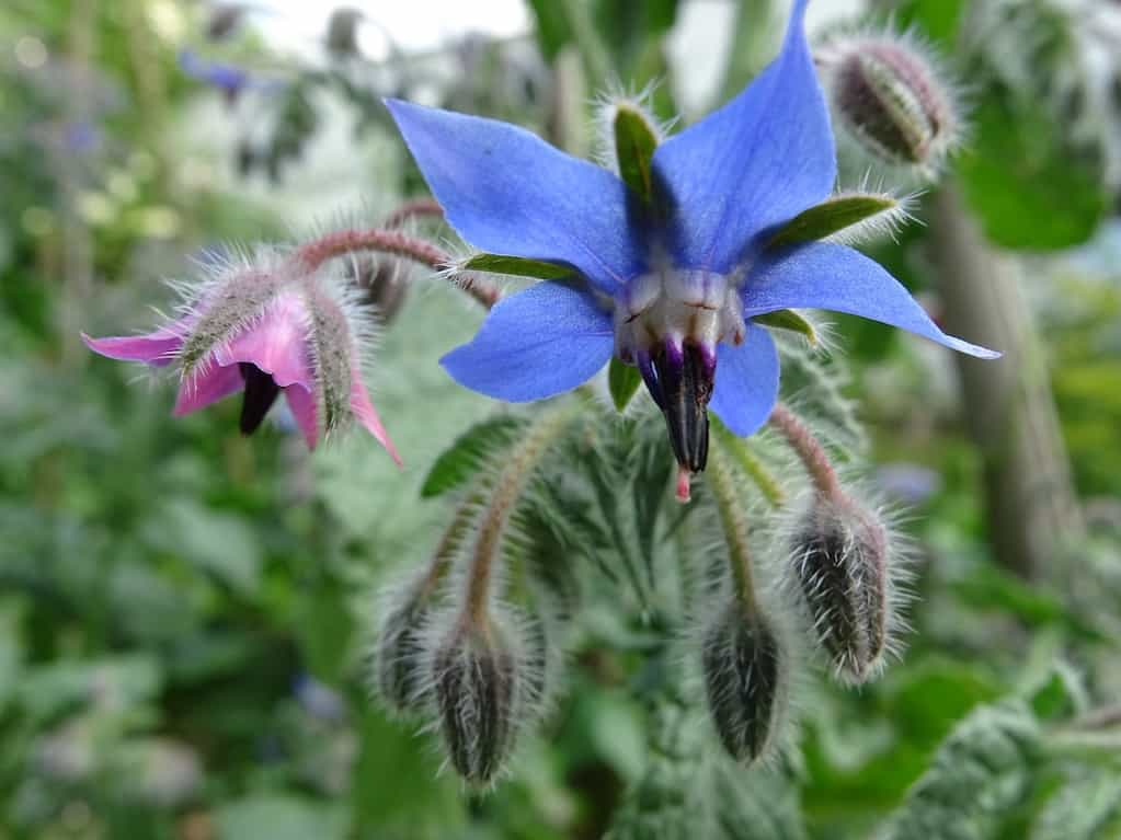 Borage a great herb for pollinators for the potager garden design