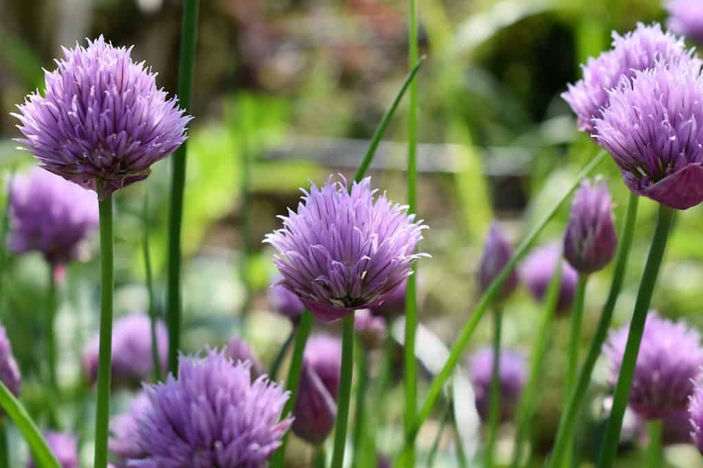 growing chives in a greenhouse