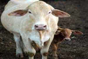 Cow Calving Stages - What to Expect When Your Cows Expecting