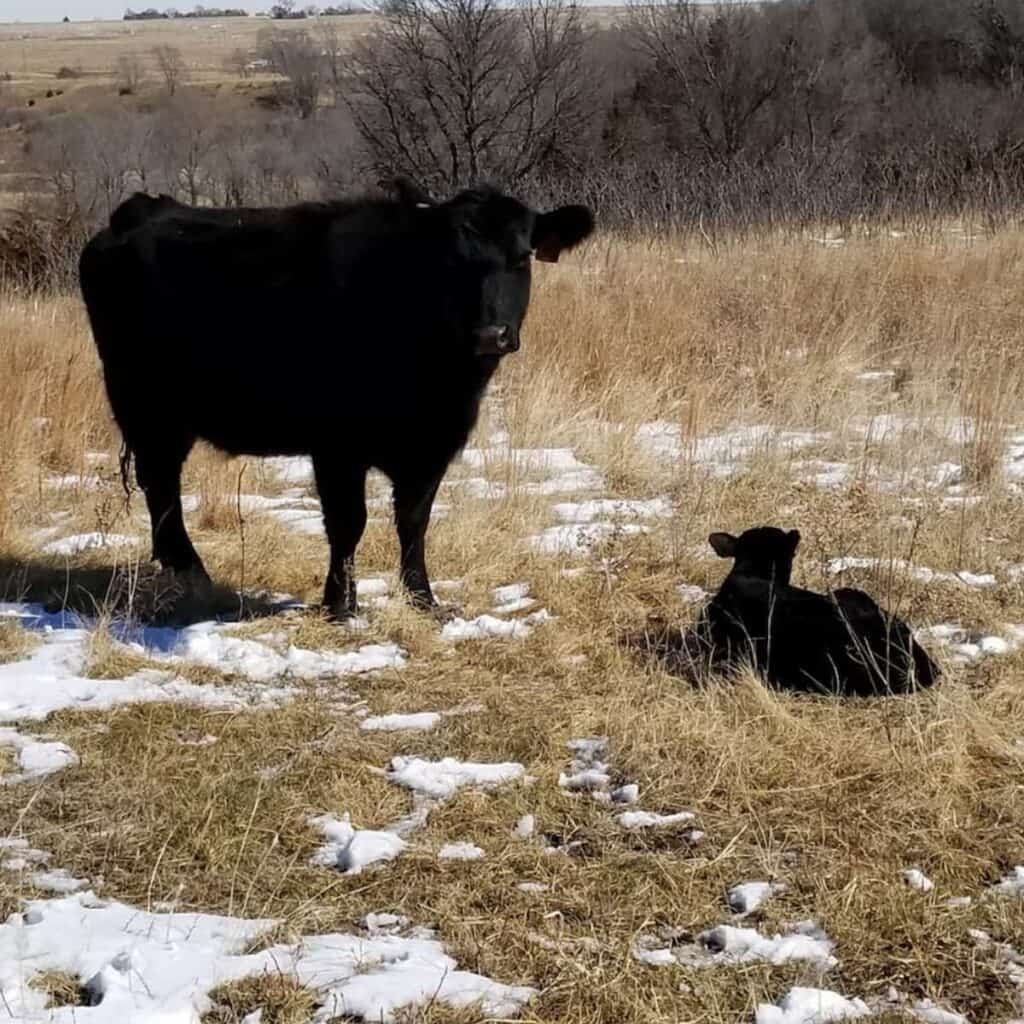 mama cow with newborn calf