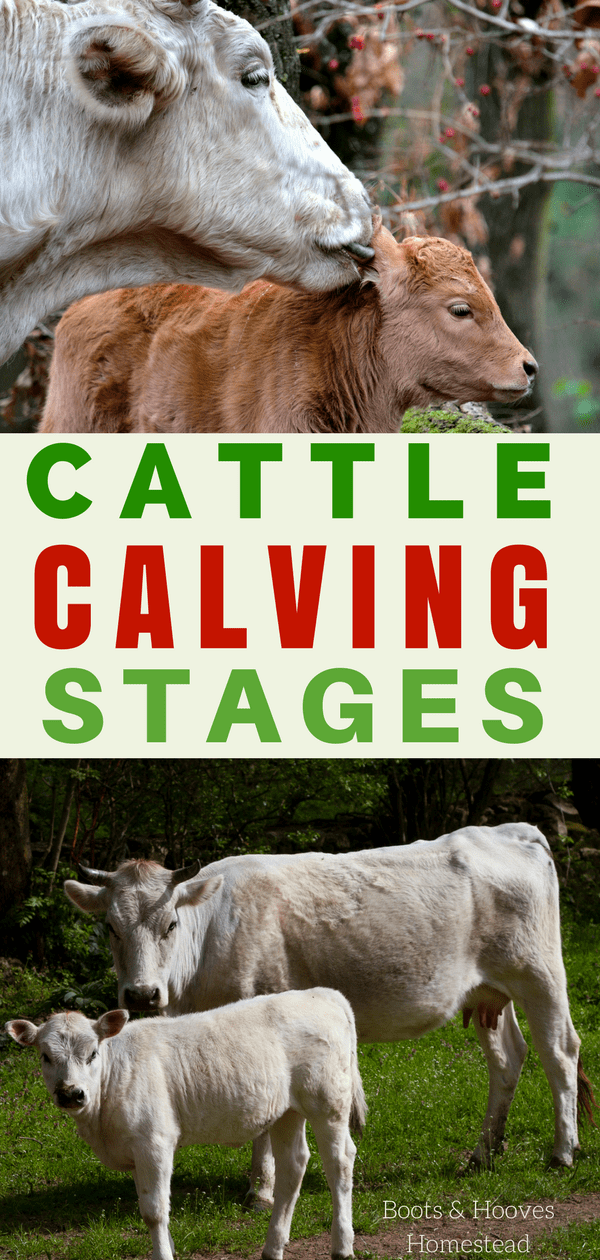 photo collage of cows with their newborn calves