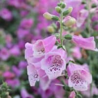 Herbs and Flowers for a Potager Garden Design