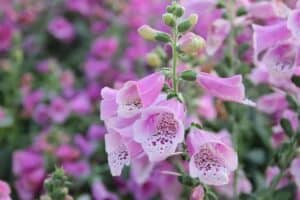 Spotted foxglove is a perfect addition to a potager garden design