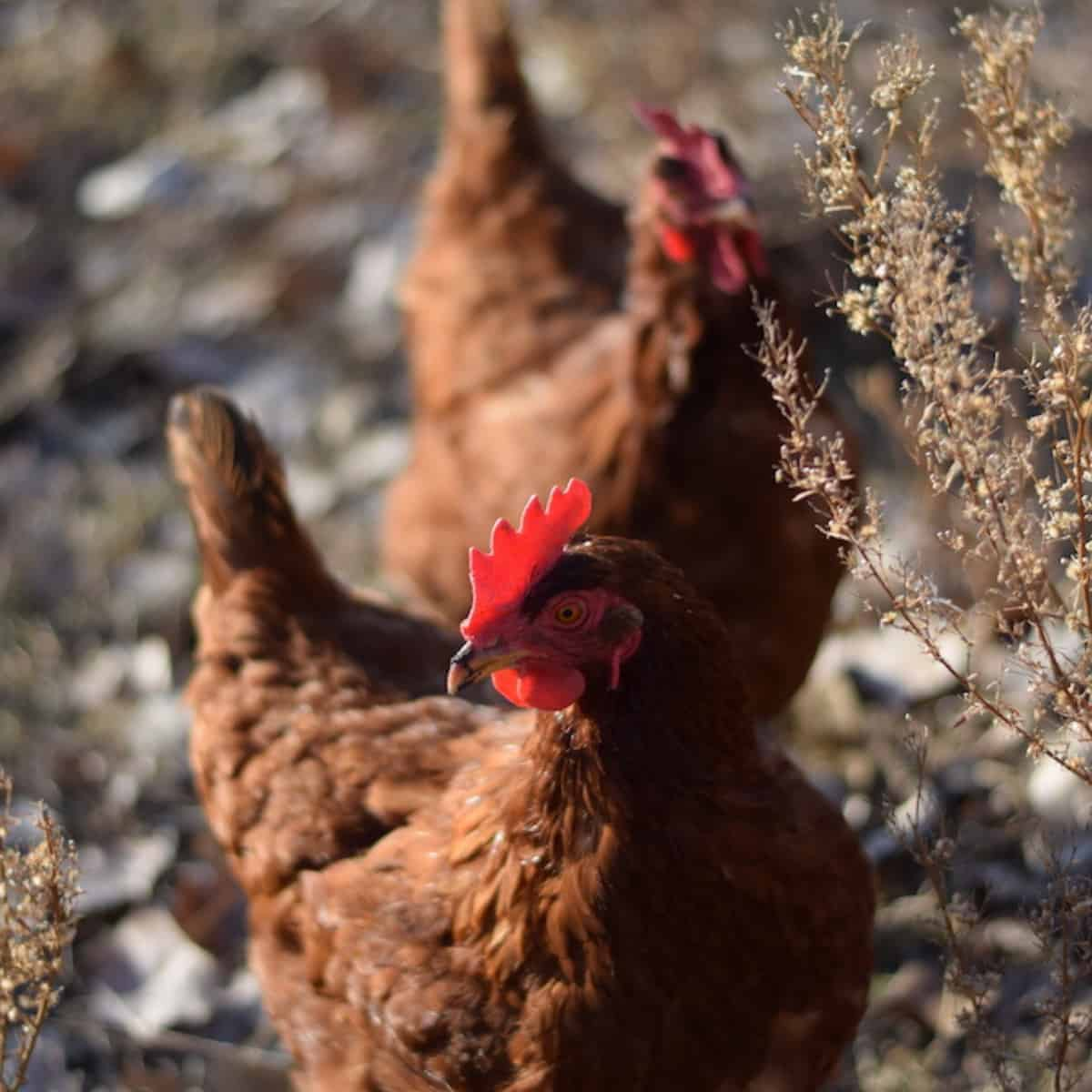 How to Keep Chickens Cool During the Summer - Boots ...