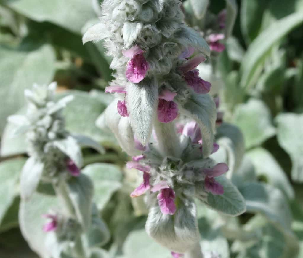 lambs ears are a great herb to add to the potager garden design