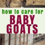 two images of baby goats