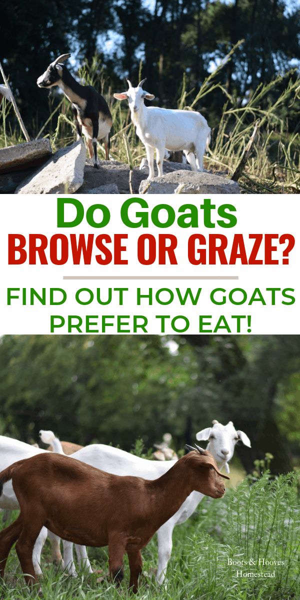 goats eating brush