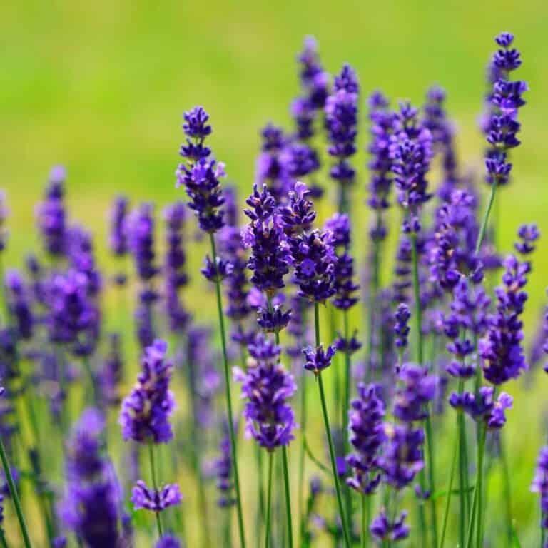 lavender growing in herb garden