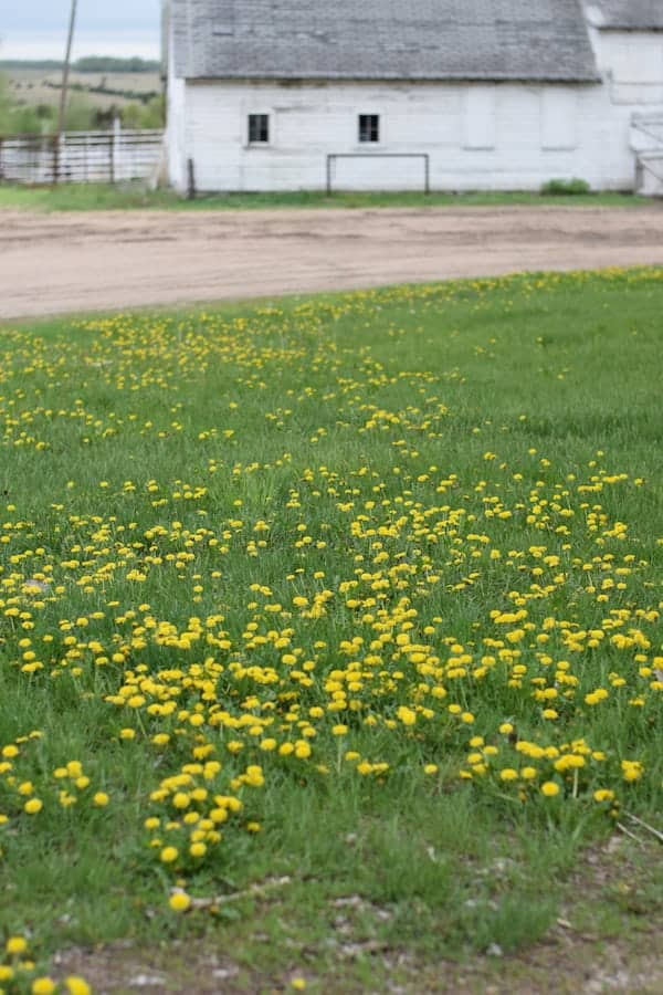 Dandelions in grassy lawn with white barn in background